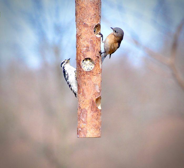 Downy woodpecker and bluebird on a log feeder
