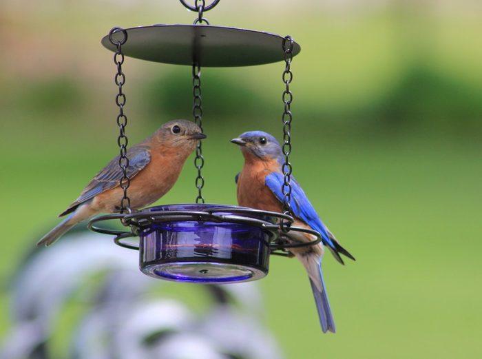 bluebirds at a mealworm feeder