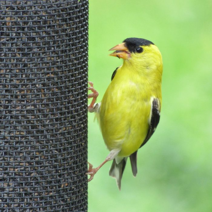 goldfinch eating nyjer seed