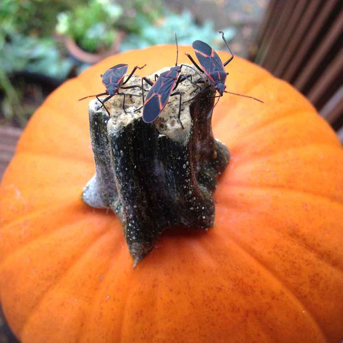 Box Elder Bugs On a Pumpkin