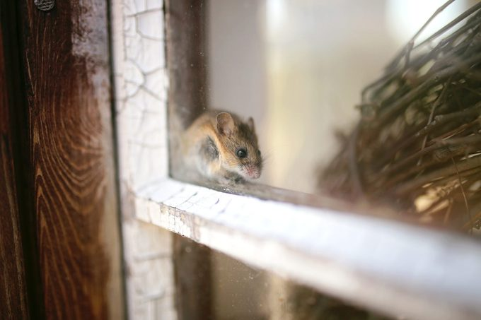 Cute Little Grey House Mouse Hiding in Window Sill