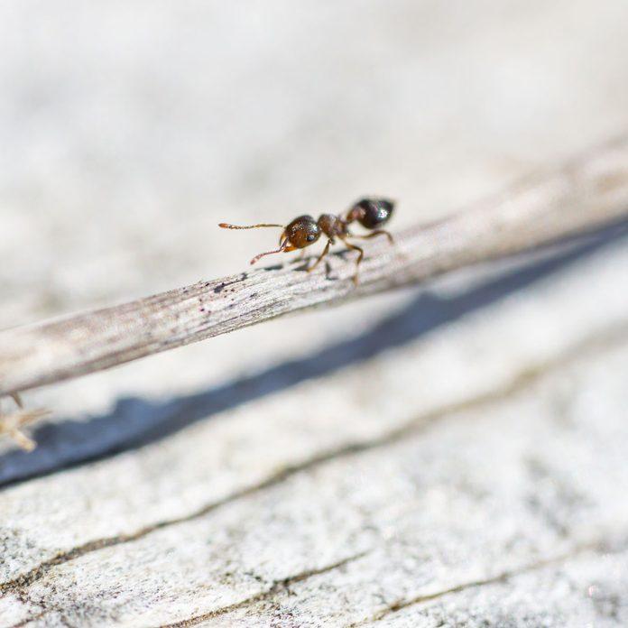 Acrobat ant
