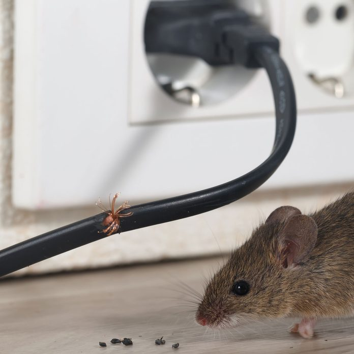 Mouse chewing a wire