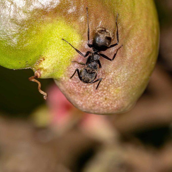 Odorous ant