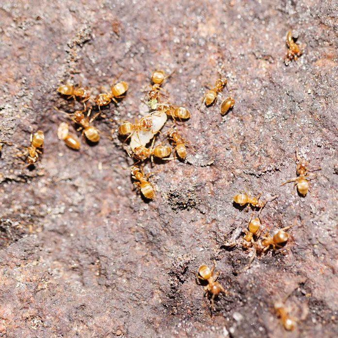 Thief ants