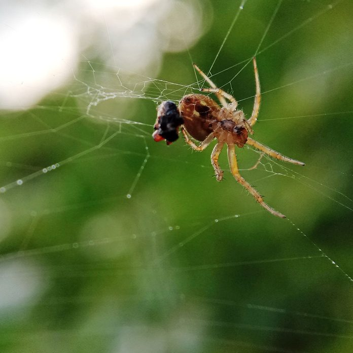 spider eating prey