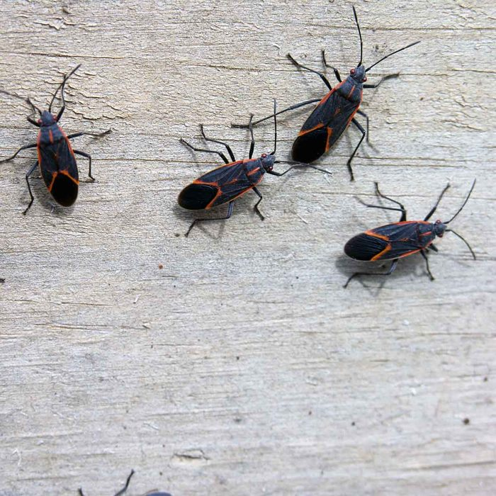 box elder bugs on side of building