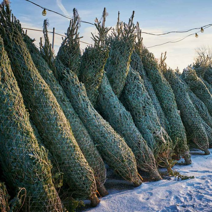 Christmas trees lined up at a sale lot