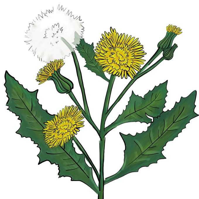 Annual sow thistle