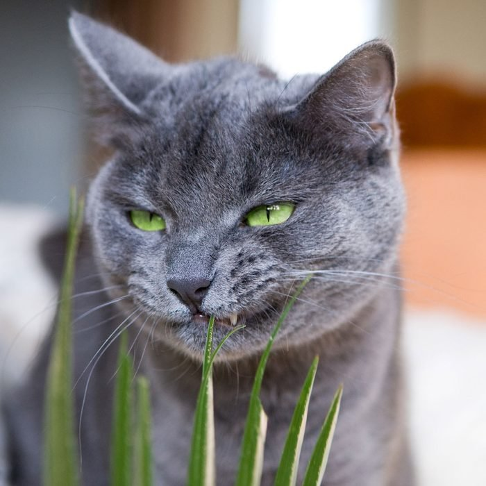 Cat Chewing Plant