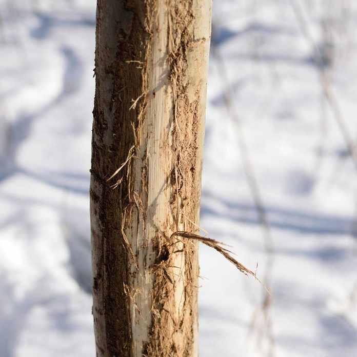 Winter Tree Damage