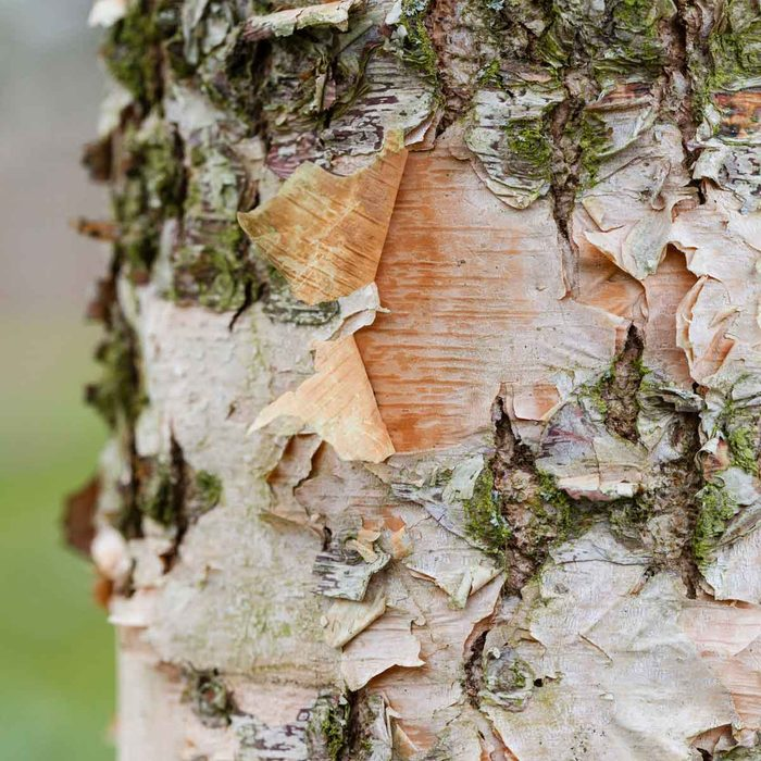 River Birch Tree Bark Gettyimages 926617014