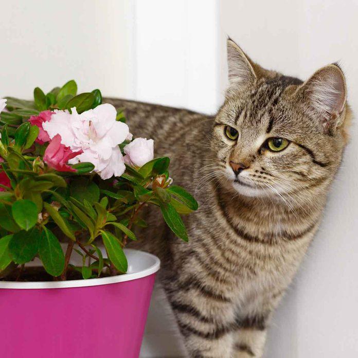 Cat Near Azalea
