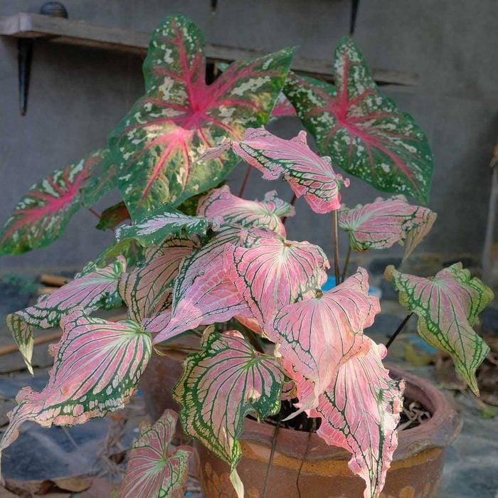 Pink Caladium