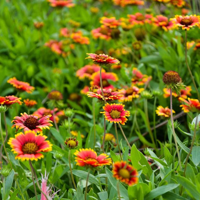 Gaillardia Pulchella Blanketflower