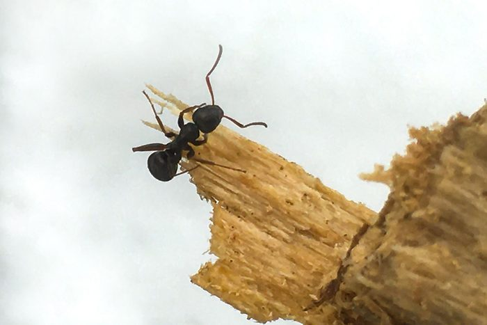 Carpenter Ant Gettyimages 1218993687