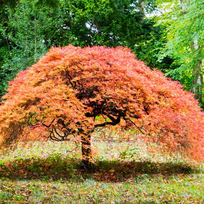 Dwarf Japanese Maple Gettyimages 877082902