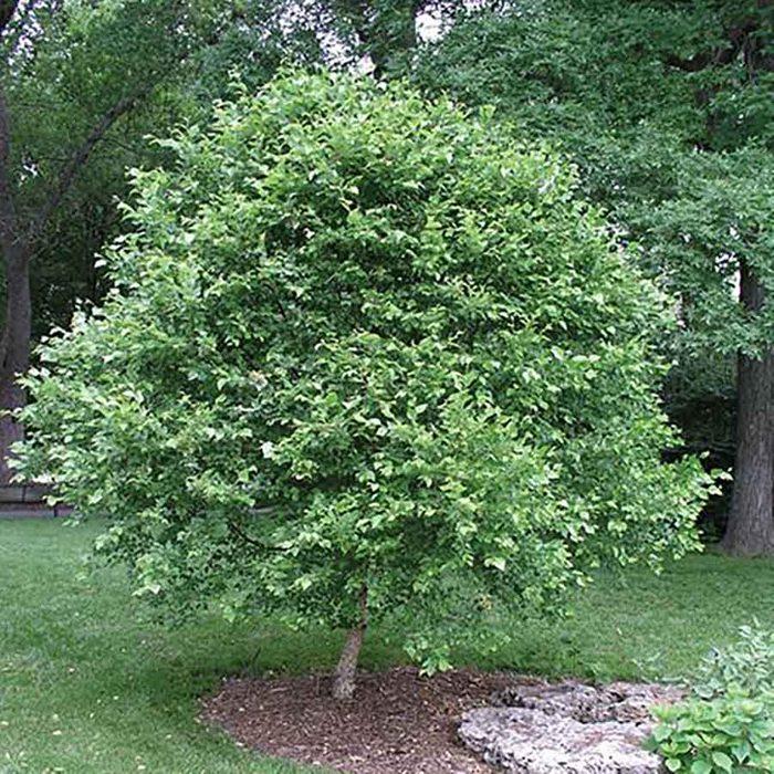Dwarf Tree Rest 1 6 16970
