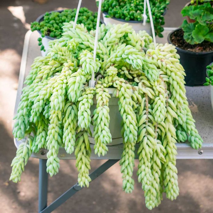 Burros Tail Hanging Plant