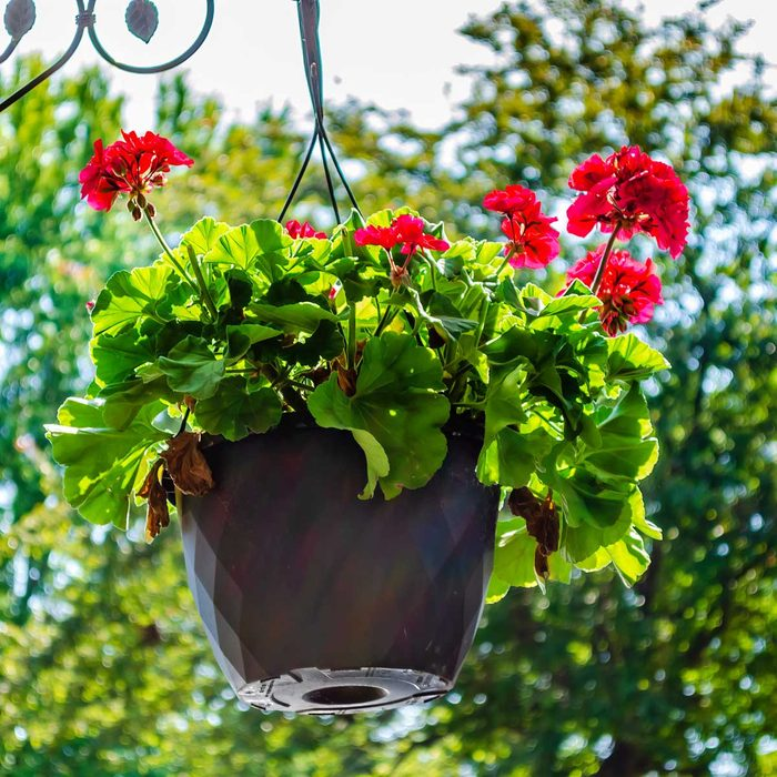 Geranium Hanging Plant
