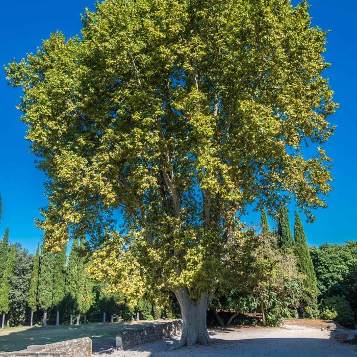 London Plane Tree Gettyimages 1167755514