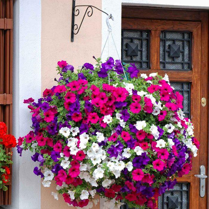 Petunia Hanging Plant