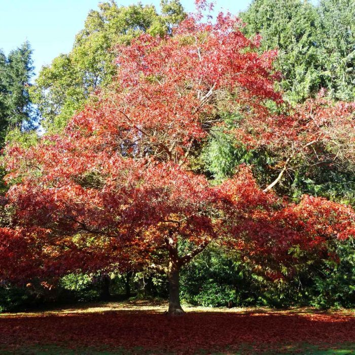 Red Oak Gettyimages 523541639