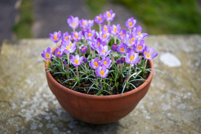 Crocus Tommasinianus in a pot in a spring garden