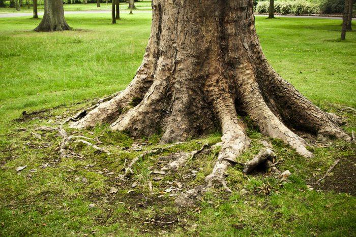 heaving tree roots in backyard
