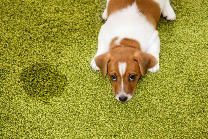 Dog Pee Stain On Carpet Gettyimages 525022308