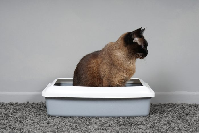 housebroken cat sitting in sifting pan litter box