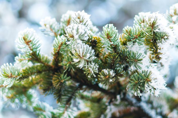 Hoarfrost on fir tree leaves in snowing in winter garden. Frozen spruce with snow flakes background.