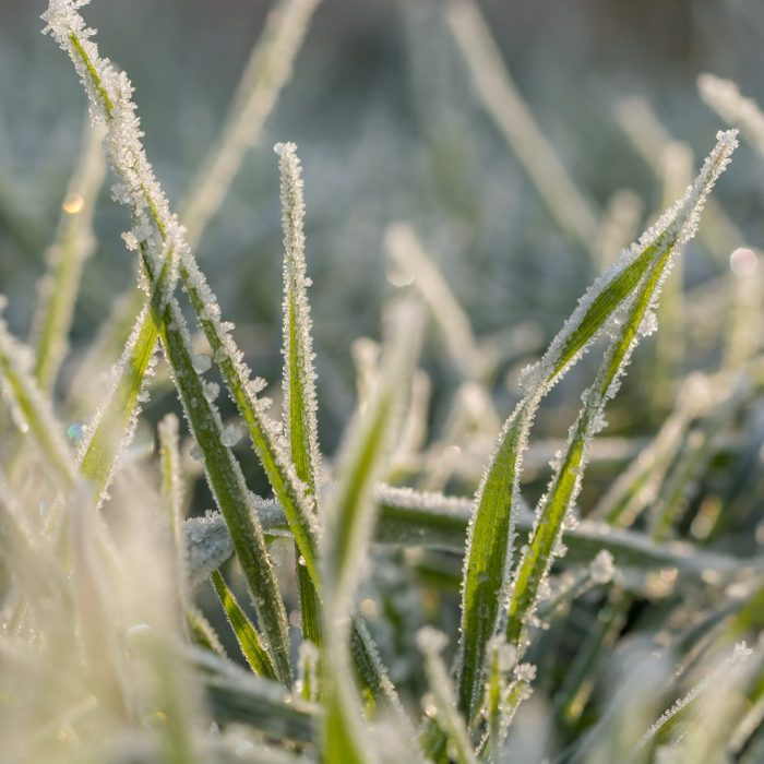 Ice crystals on blades of grass in the morning sun