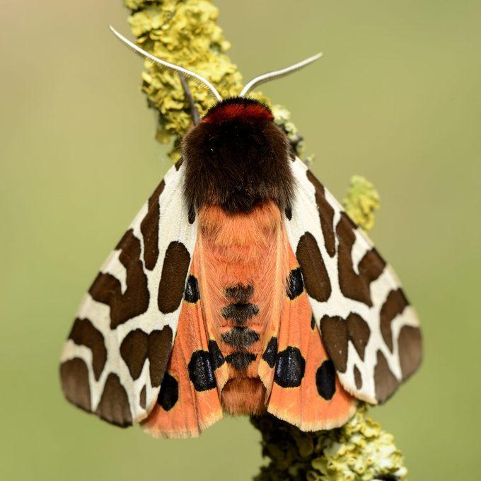 Woolly bear Caterpillar turned into tiger moth