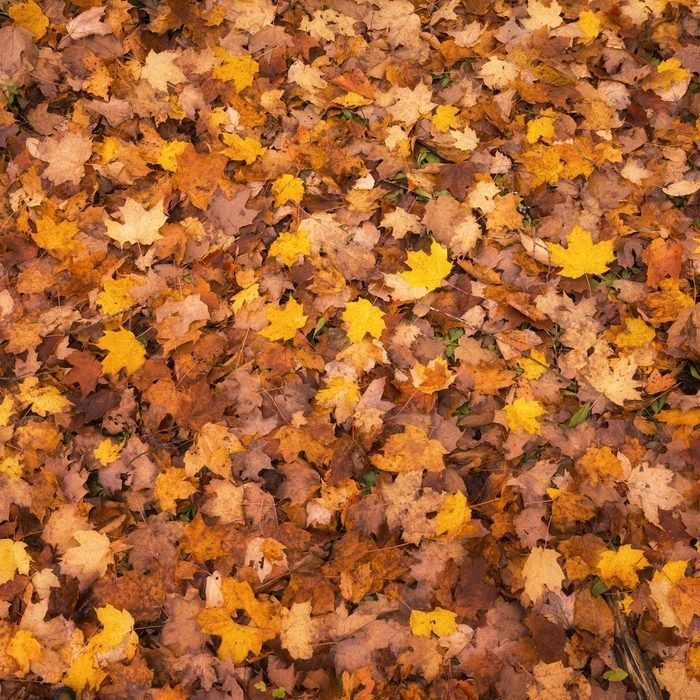 fall leaves before being mulched
